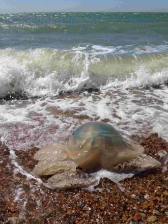 The ninth official sighting of a jellyfish along the Sussex coast this year