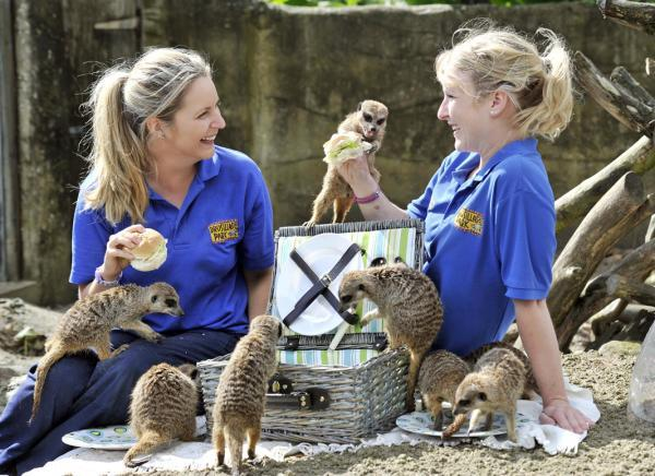 Lunchtime at Drusillas Park for the meerkats at the launch of Big Packed Lunch