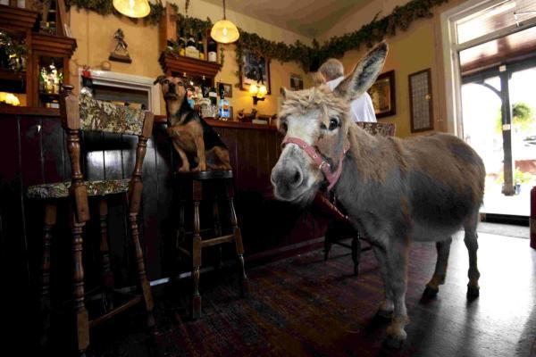 Landlady's pet donkey becomes a pub regular