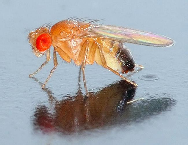Could these flies help detect drugs and bombs?