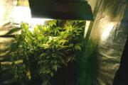 Cannabis cultivation by Roland Leonard