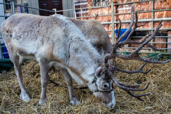 Stop exploitation real reindeer
