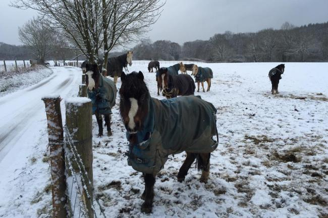 Horses caught in the snow in Fernhurst this morning.  Picture: Aubrey Dawson