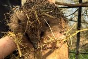Pair of hedgehogs stolen from animal charity's enclosure