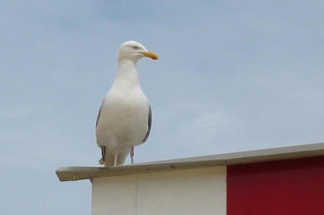 Seagulls are misunderstood according to expert | The Argus