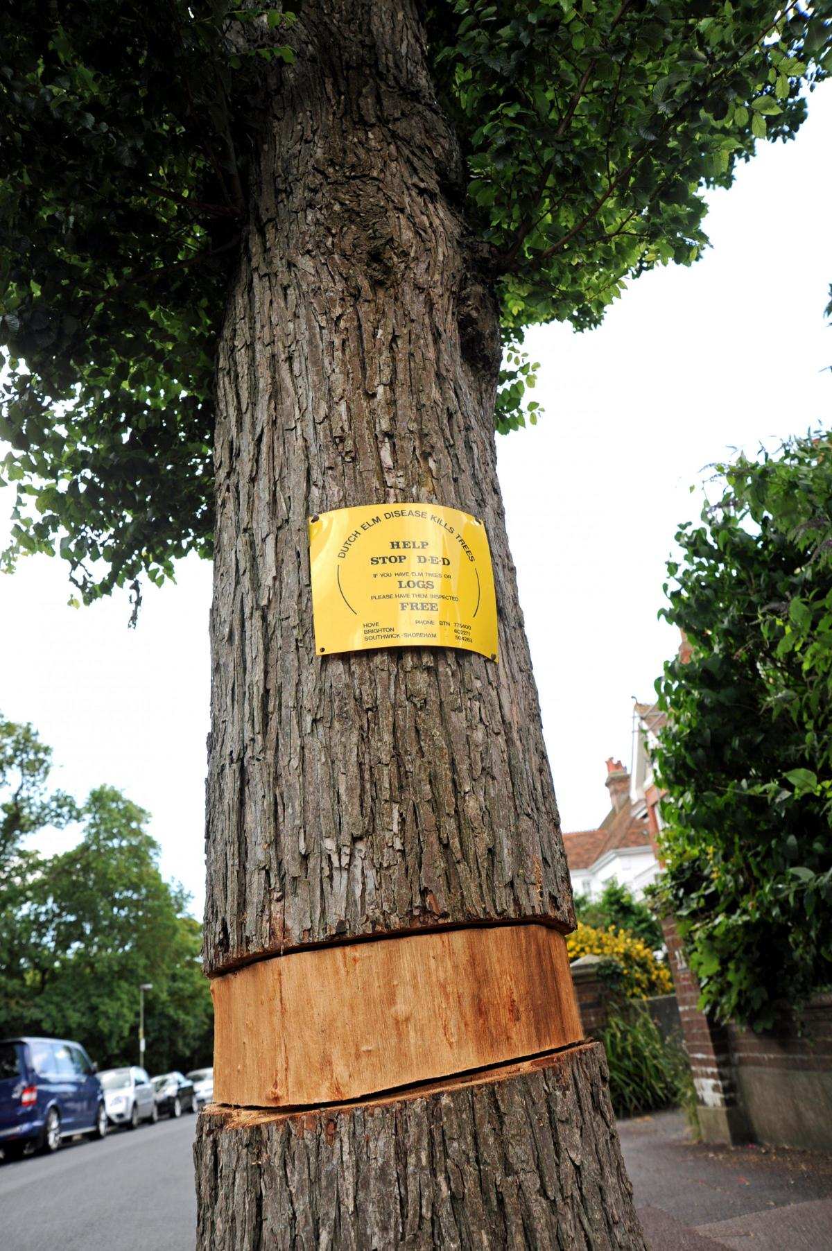 New Disease Threat To Precious Elm Collection Of Brighton And Hove
