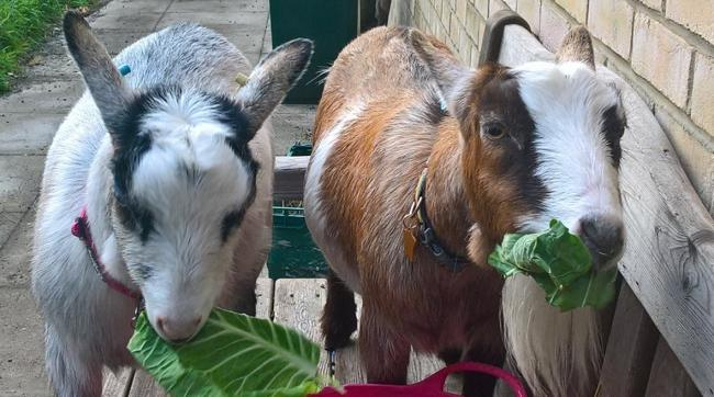 Varndean's goats are proving popular with pupils and staff