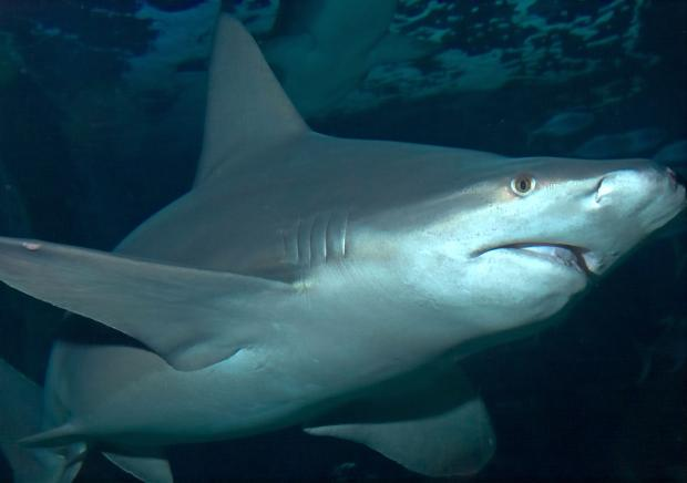 Sharks just misunderstood says Sea Life Centre