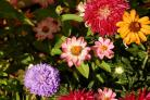 Assorted flowers in a summer garden including chrysanthemums, daisies and dahlias