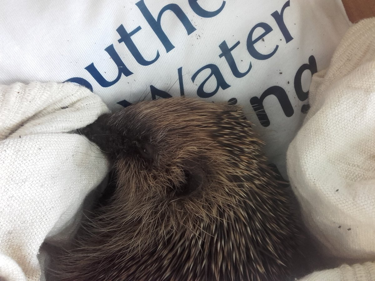 Southern Water staff come to resuce of little hedgehog