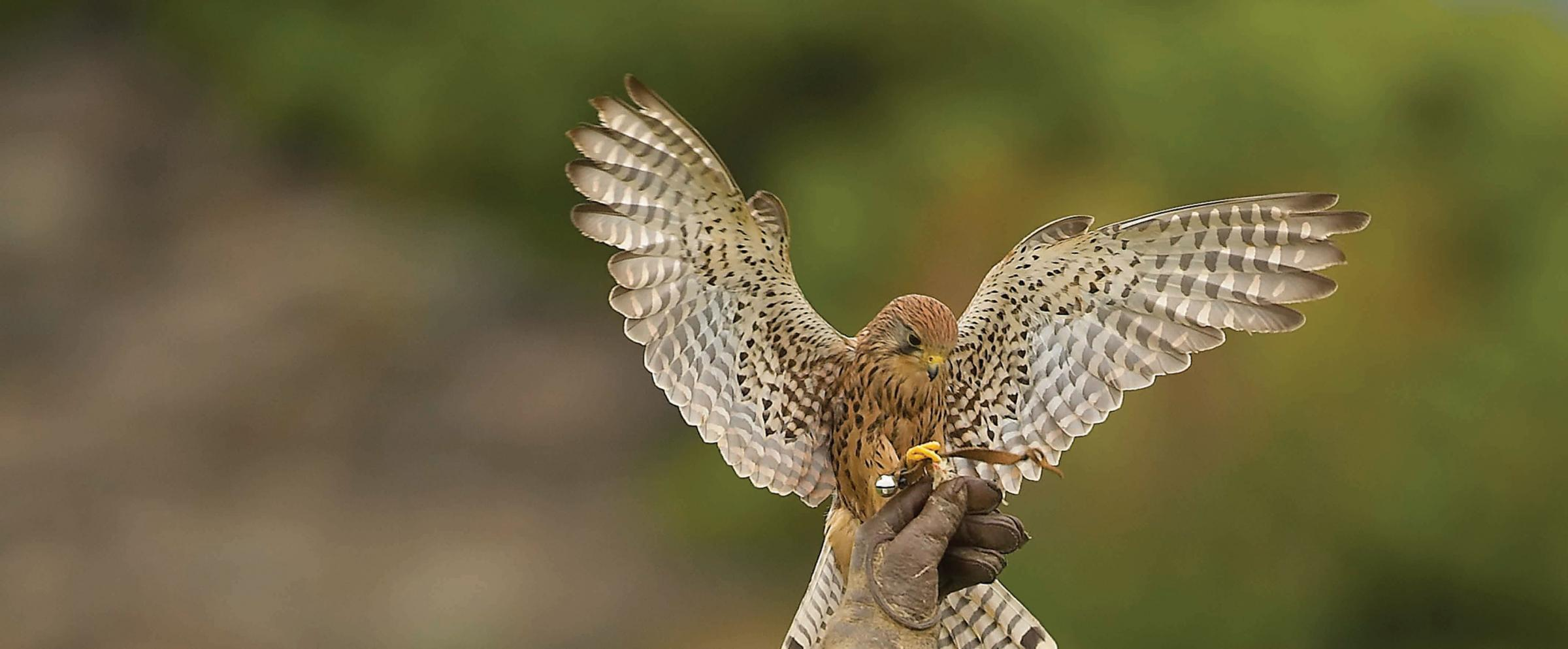 Medieval Falconry at Battle Abbey