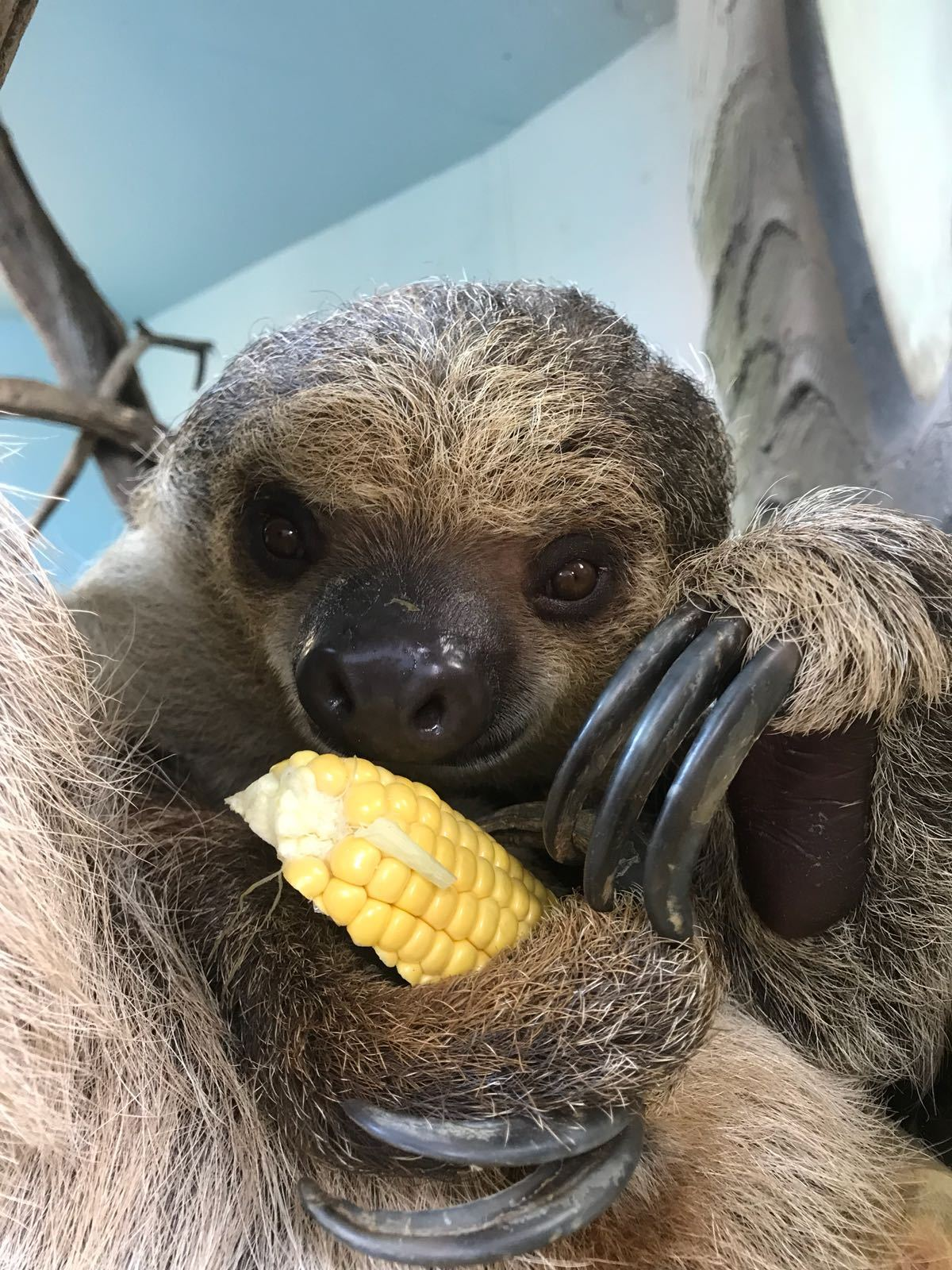 Sophocles the sloth is planning to slim down