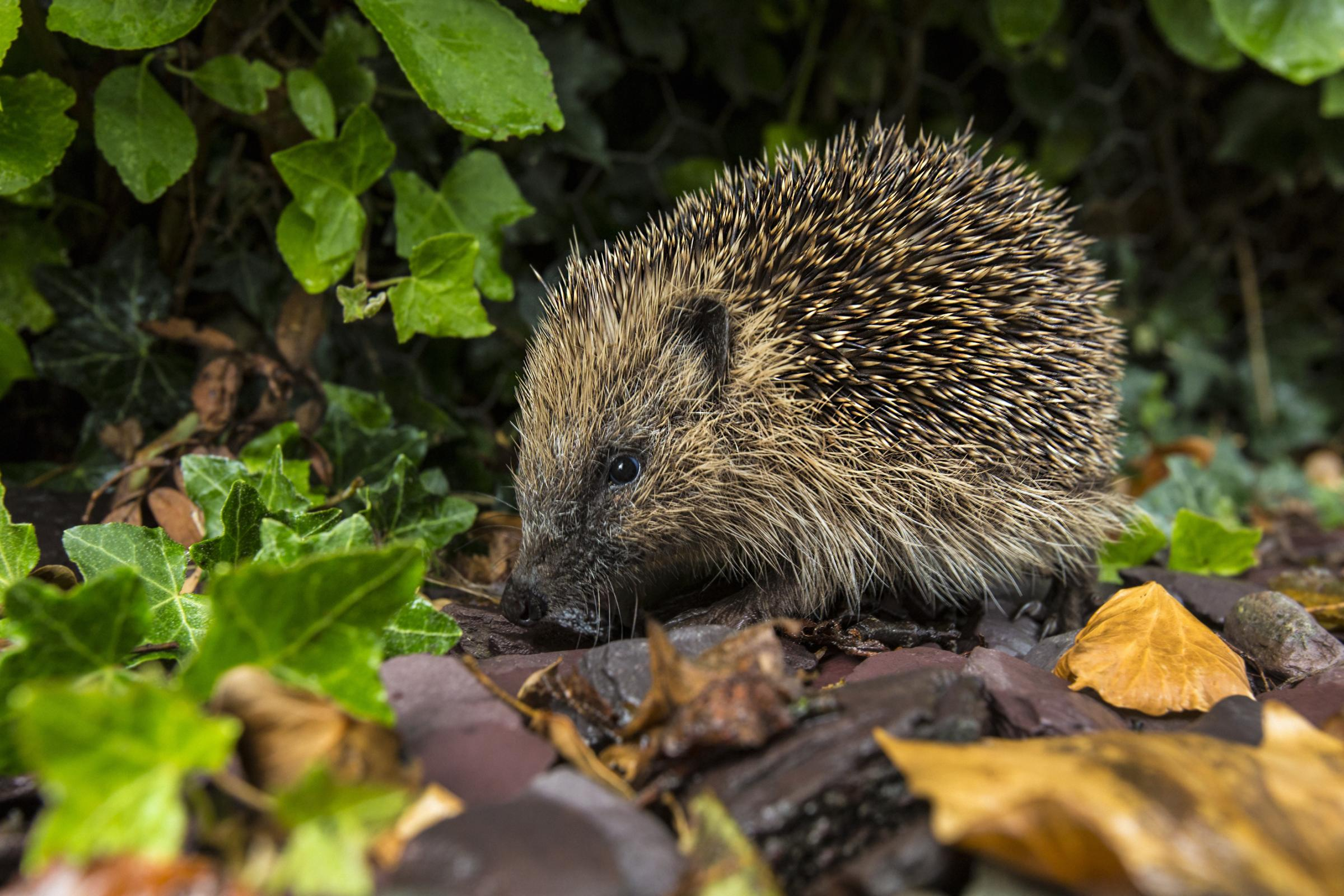 Hedgehog stabbed and 'left to die in pavement'